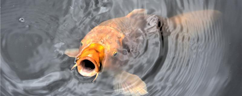 黑坑钓鲤鱼子线多长为最佳,用什么饵料最好