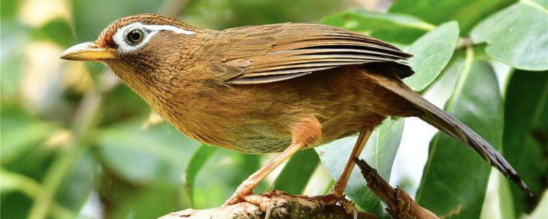画眉鸟怎么养才能起大性