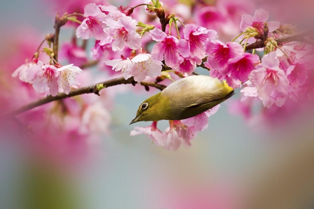 绣眼鸟鸟服笼秘诀