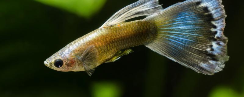 孔雀鱼鱼苗多久能长成大鱼,它们能活多久