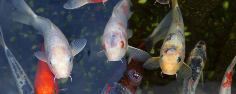 锦鲤缸里能养什么水草不被吃掉,养水草好还是不养水草好