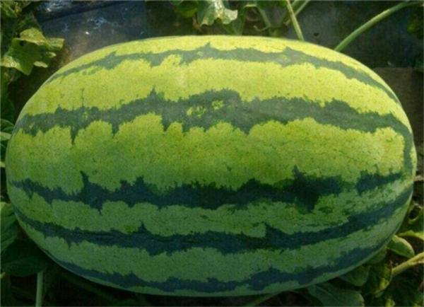 西瓜品种十大排行榜 最好的西瓜品种有哪些