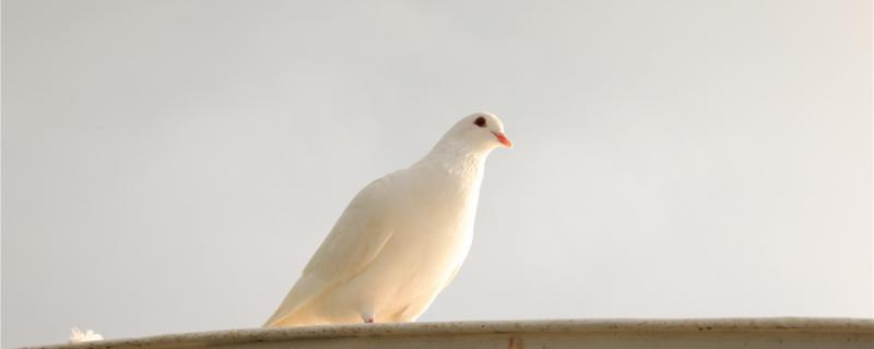 鸽子下蛋了一般要注意什么?