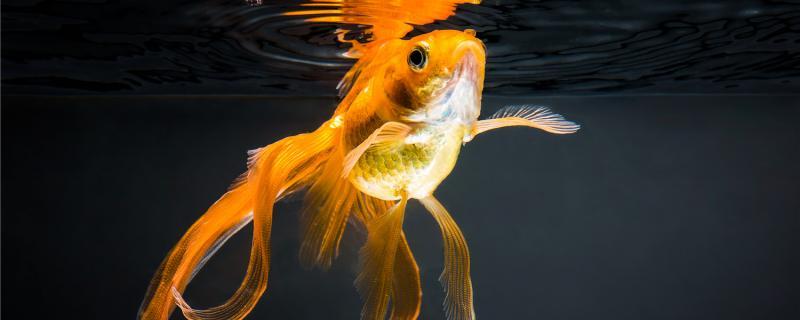 金鱼可以吃家里什么食物,还能吃什么
