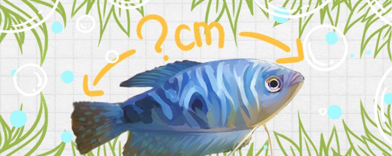 曼龙鱼能长多少厘米,生长速度快吗