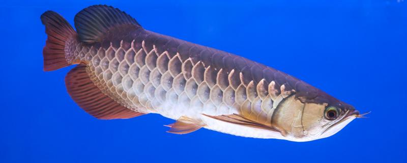 龙鱼适合养几条,用多大的缸合适