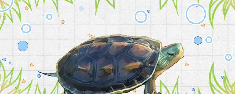 中华花龟吃什么蔬菜,可以吃肉吗