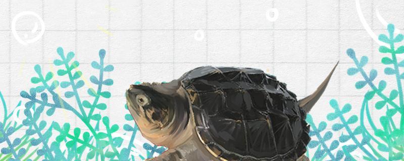 鳄龟几天不吃东西会死,它们会吃撑吗