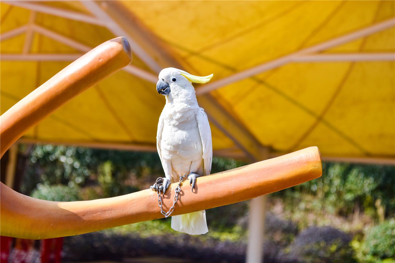 鹦鹉如何辨别公母