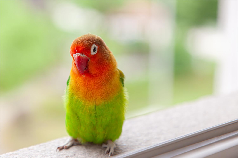 牡丹鹦鹉繁殖前期征兆