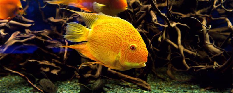 鹦鹉鱼在鱼缸角落里不动怎么回事,怎么解决