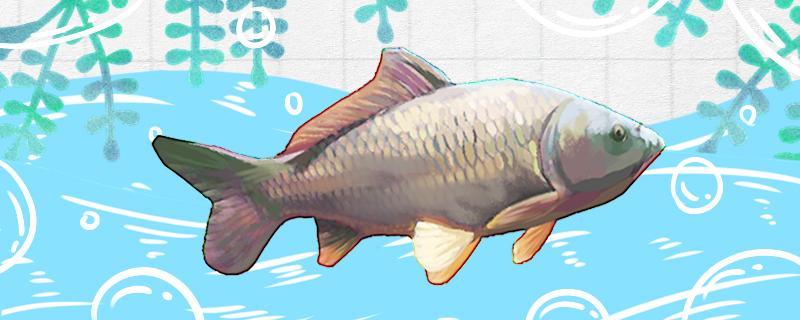 鲤鱼容易钓吗,如何钓鲤鱼