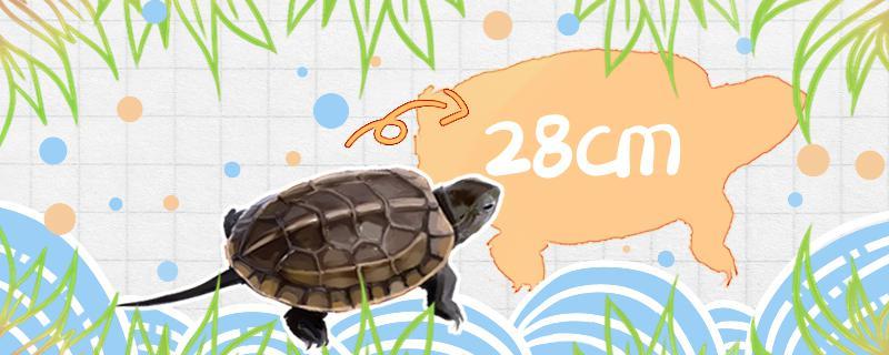 草龟多久长大,能长多大
