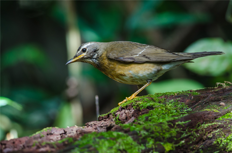 怎样让画眉鸟快速增肥