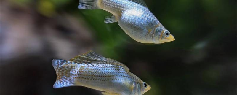 玛丽鱼多久生一次小鱼,怎么养