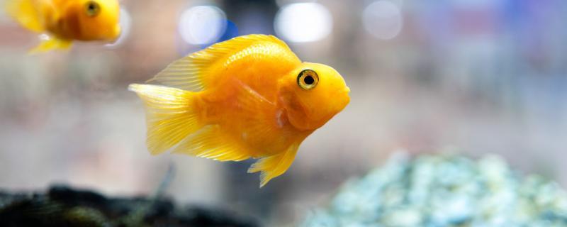 黄鹦鹉鱼是怎么变黄的,怎么养