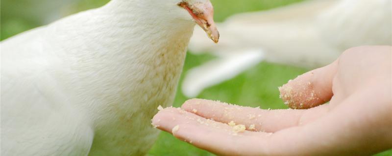 怎么让鸽子快速增肥