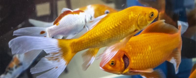 鱼眼睛有白膜会死吗,有白膜怎么治疗