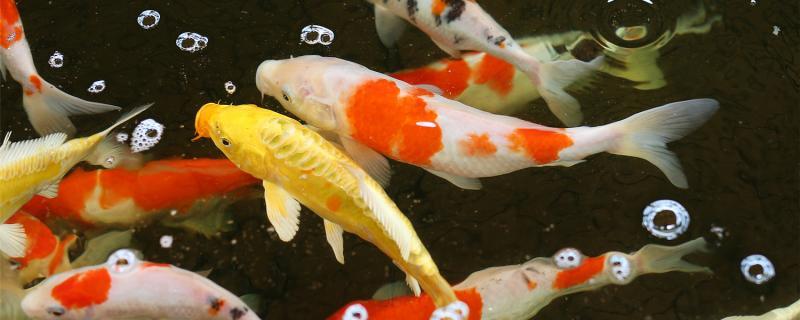 锦鲤吃什么饲料好,怎样喂食更科学