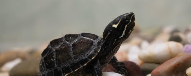 麝香龟2只一起养打架吗,可以跟其它乌龟混养吗