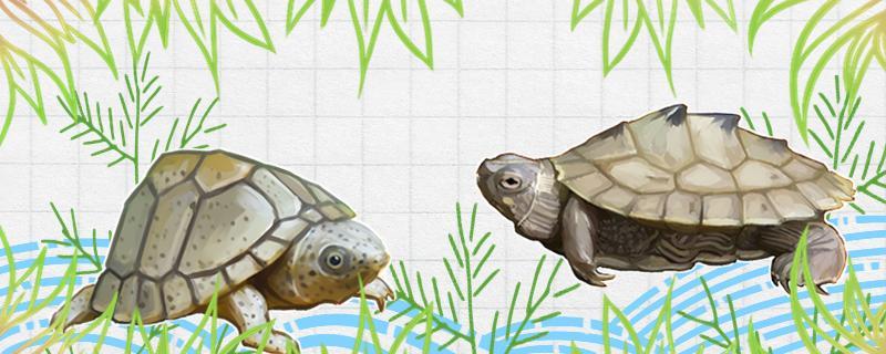 剃刀龟能混养吗,可以几只一起养吗