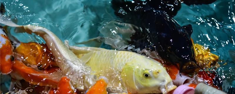 土霉素治鱼什么病,给鱼治病的老三样是什么
