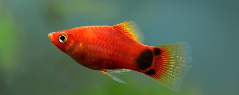 米奇鱼会吃自己的小鱼吗,能和什么鱼混养