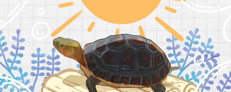 黄缘闭壳龟怎么养高背,怎么养颜色好看