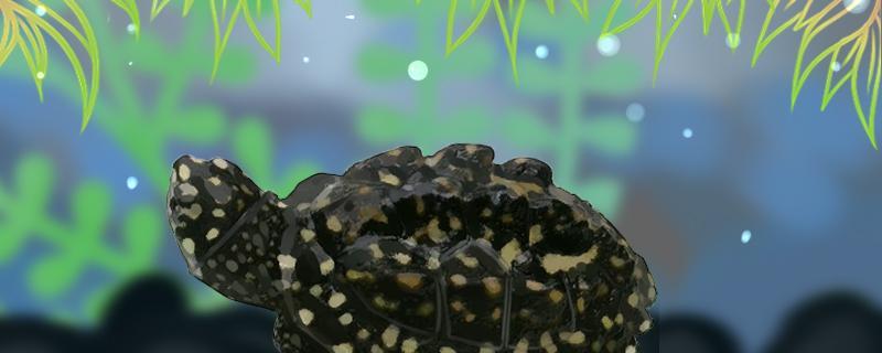 斑点池龟的寿命,斑点池龟的体长