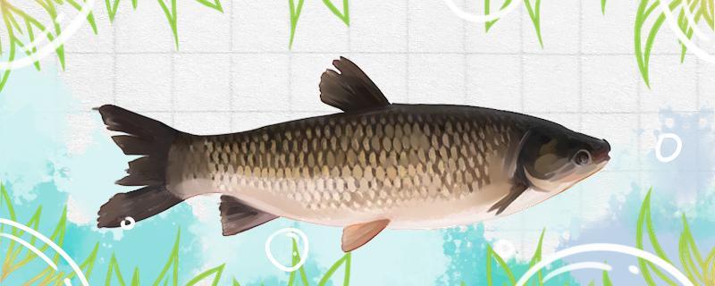 海竿能钓草鱼吗,怎样钓草鱼