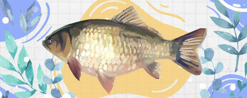 黑坑夏天钓鲫鱼用腥还是香味,饵料配方有哪些