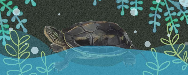 珍珠龟多大算成年,能活多久