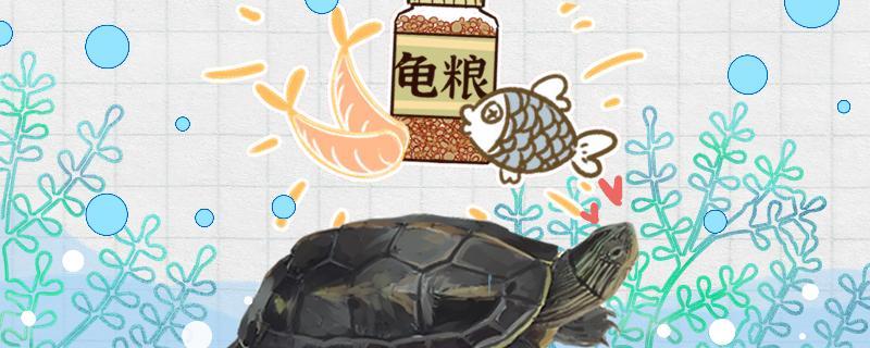 珍珠龟几天喂一次食,喂什么食物好