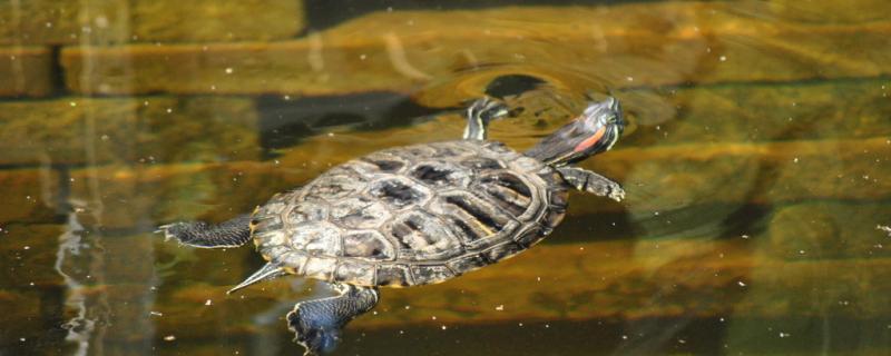 乌龟水深多少合适,什么龟适合深水养