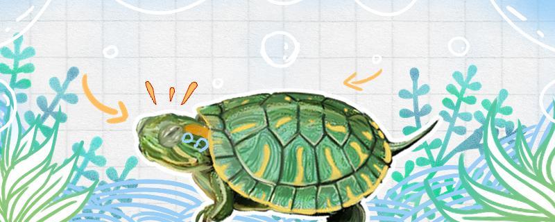 巴西龟和巴西红耳龟有什么区别,红耳龟和黄耳龟有什么区别