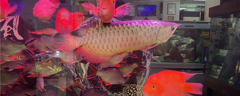 观赏鱼可以放生吗,放生要注意什么