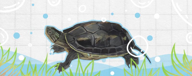 珍珠龟和草龟哪个好养,可以养在一起吗