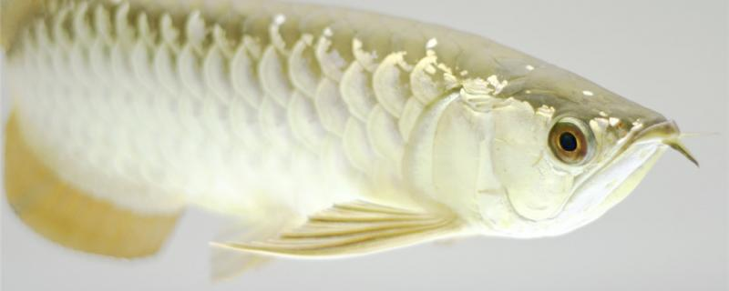 金龙鱼如何喂养,如何换水