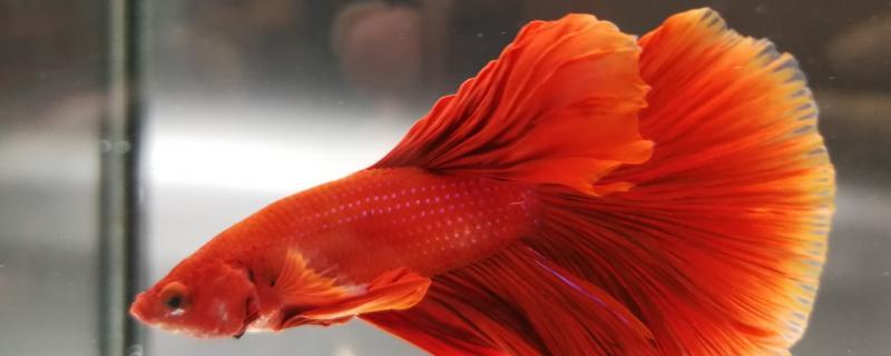 泰国斗鱼的寿命,饲养方法
