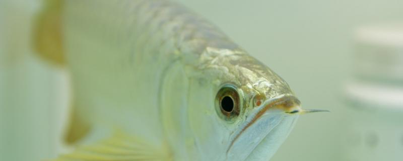 小金龙鱼怎么养,怎么喂食
