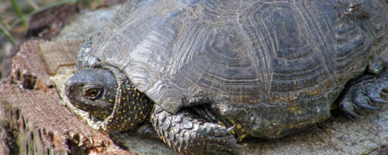 乌龟身体软了还能救吗,软甲病怎么治