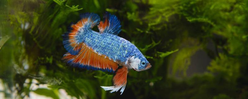 泰国斗鱼尾巴烂了会长出来吗,怎么养颜色鲜艳
