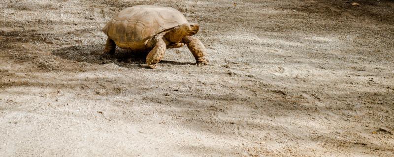 乌龟往外爬有什么征兆,乌龟为什么往外爬