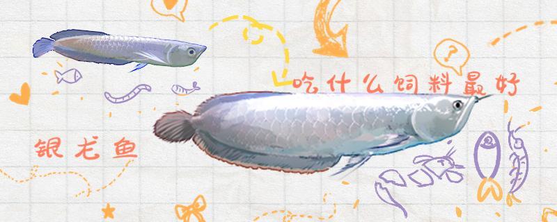 银龙鱼吃什么长得快,怎么养长得快