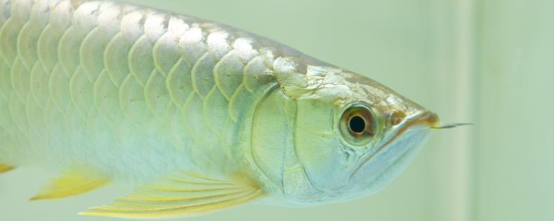 金龙鱼不吃食能活多久,怎么喂食好