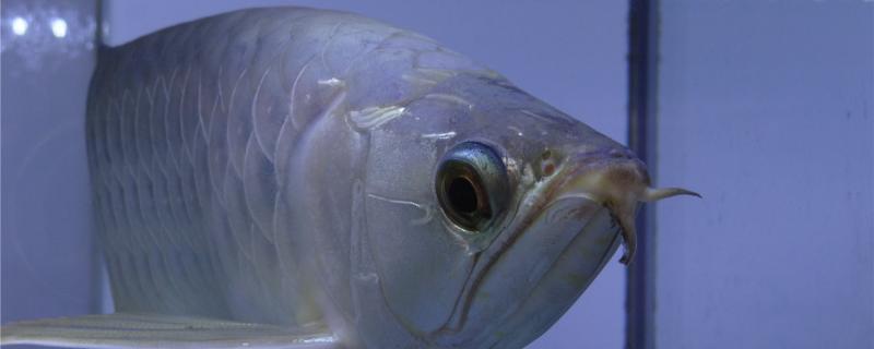 银龙鱼用什么颜色的灯,什么时候开灯好