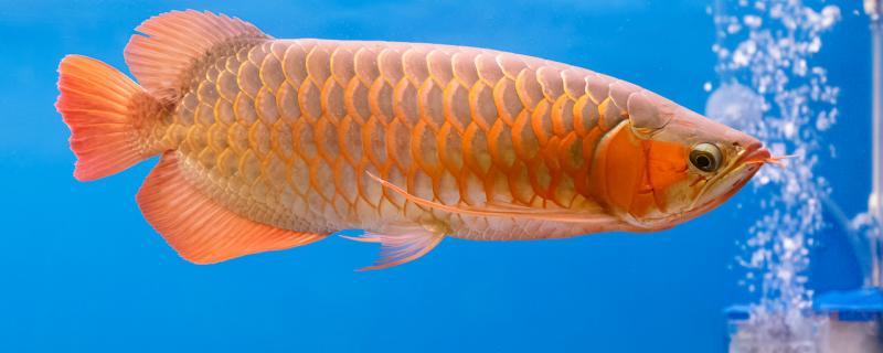 红金龙鱼的寿命是多少年,最大能长多大