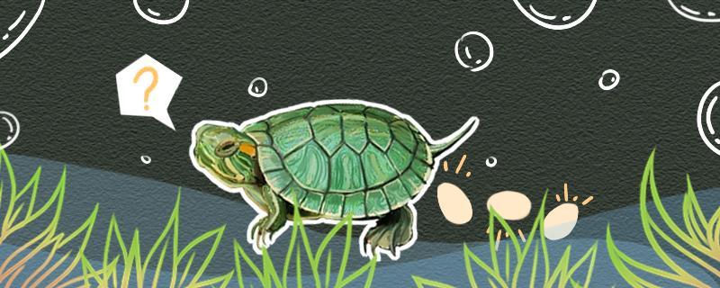 巴西龟怀孕迹象,孵化方式