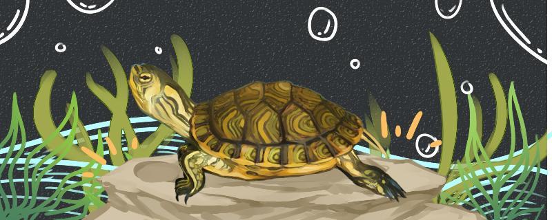 黄耳龟是水龟还是半水龟,水位多高合适