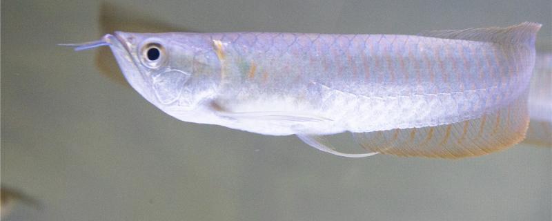银龙鱼几天不吃食会死,多久喂一次合适